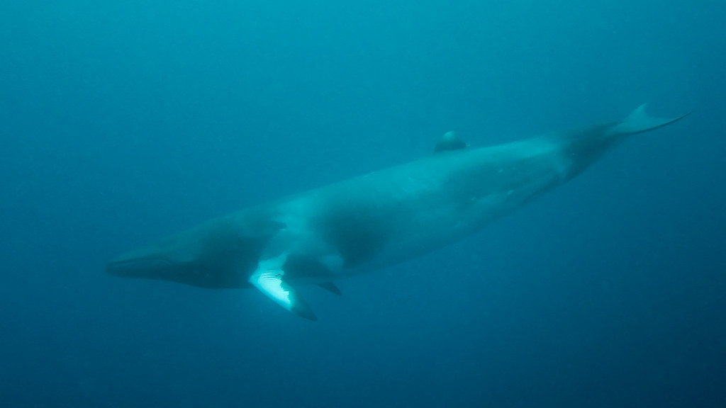 Best dive sites in Australia Dwarf Minke Whale Flickr CC image by kris-mikael.krister