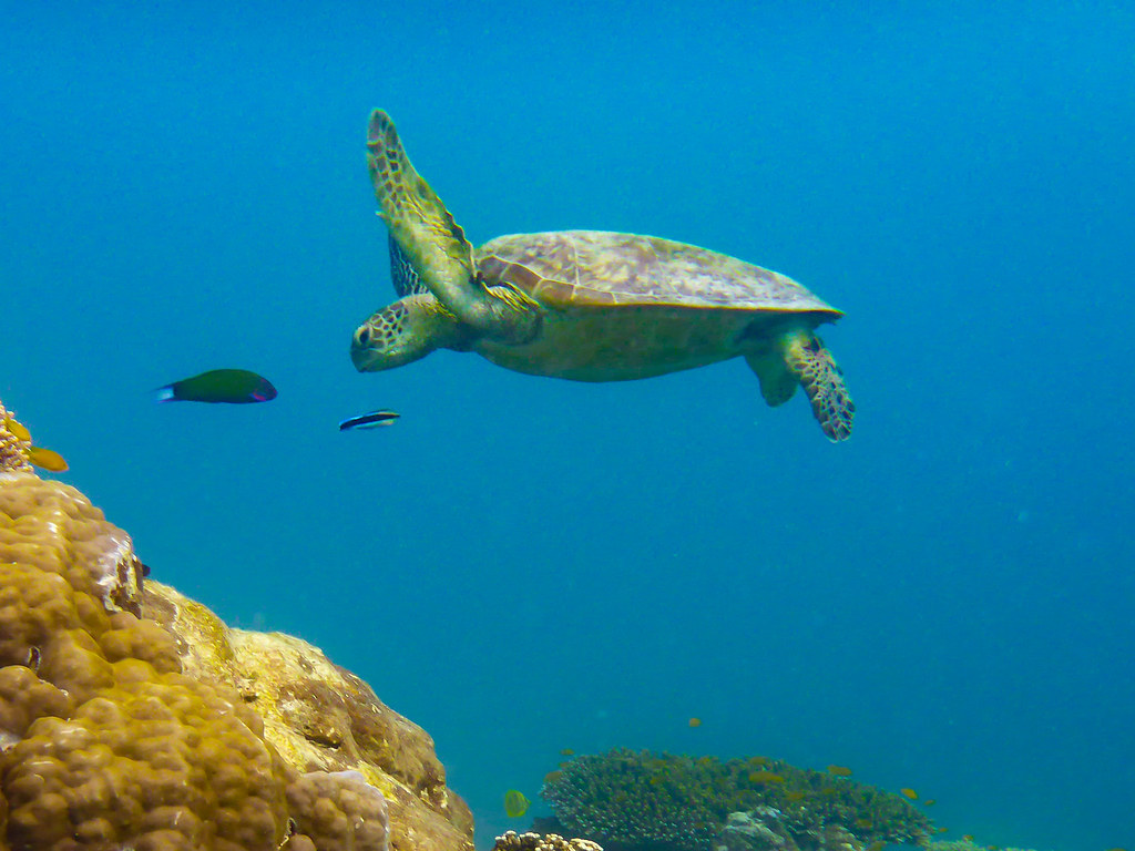 Best dive sites in Australia Turtle at Heron Island Flickr CC image by Michael Eisen