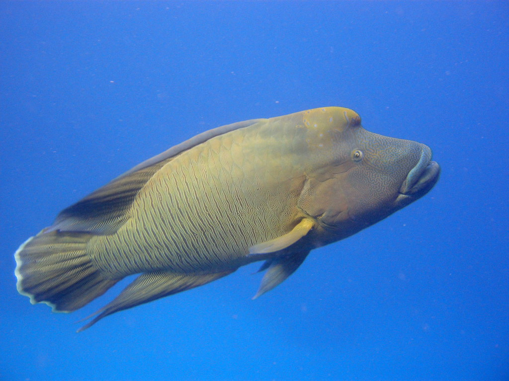 Guide to Australian scuba diving holidays Napoleon Wrasse on Great Barrier Reef Flickr CC image by mattk1979