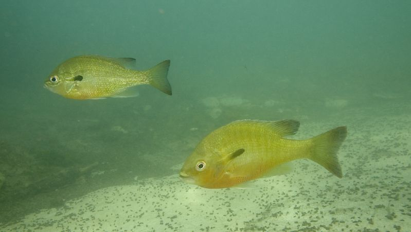 Best scuba diving in Texas Dive the Gulf of Mexico Flickr CC image of Redbreast sunfish by Charles & Clint