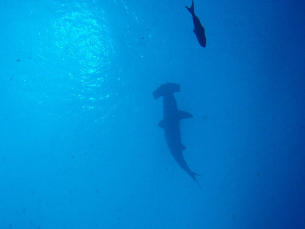 Hammerhead: Guide to Galapagos Islands scuba diving holidays Flickr CC image by 88rabbit