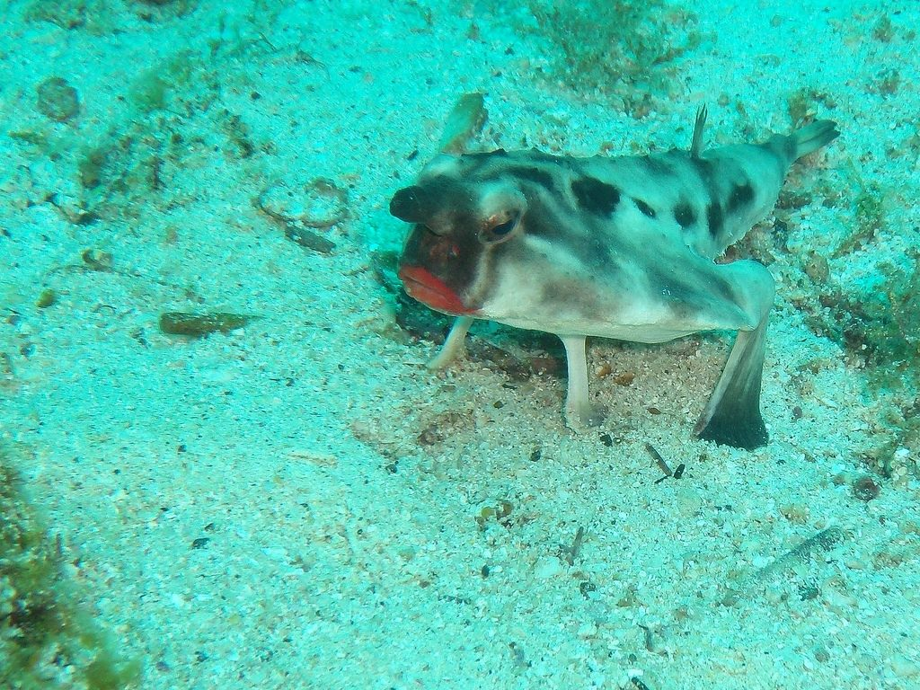 Batfish Guide to Galapagos Islands scuba diving holidays Flickr CC image by reinketelaars