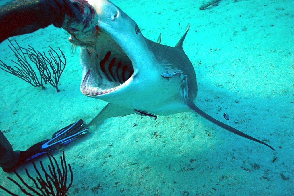Scuba dive with sharks 10 best shark diving spots worldwide flickr CC image by lwpkommunikacio