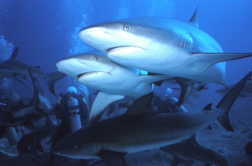 Scuba dive with sharks 10 best shark diving spots worldwide flickr CC image by manoellemos