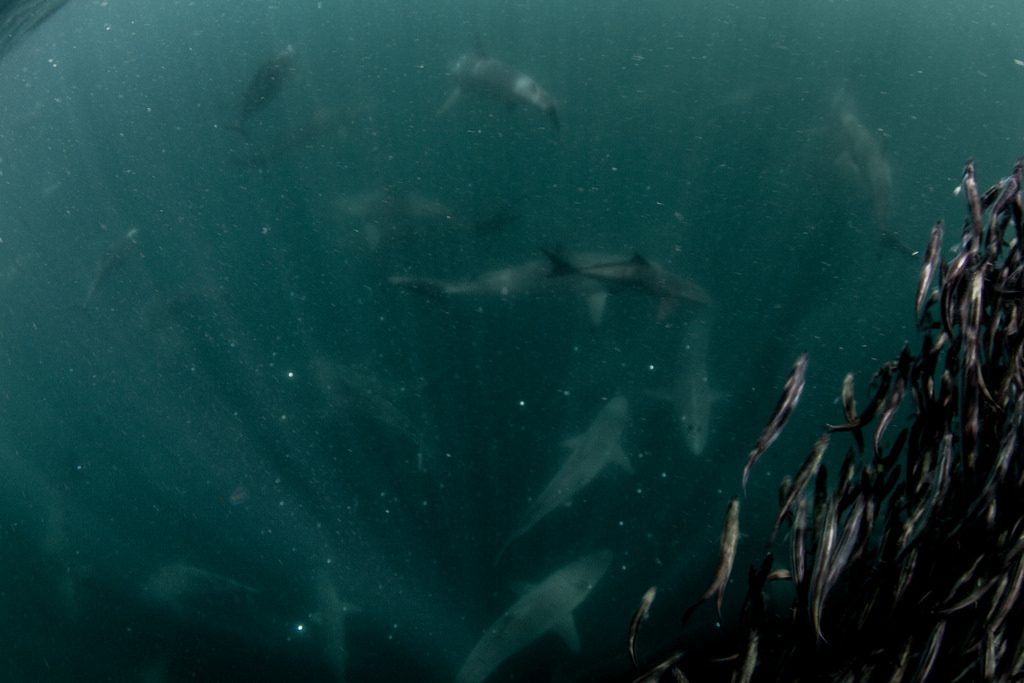 Scuba dive with sharks in Mozambique one of the 10 best shark diving spots worldwide flickr CC image by Tchami