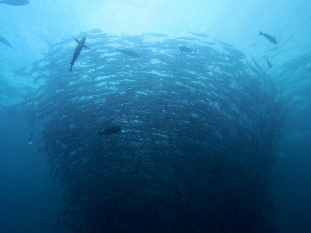Scuba diving sipadan Barracuda shoal flicr image by yuheitomi