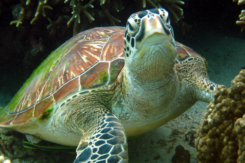 Moalboal Scuba Diving Holidays tongo turtle image courtesy of Lee Butler from Savedra Dive Center Philippines