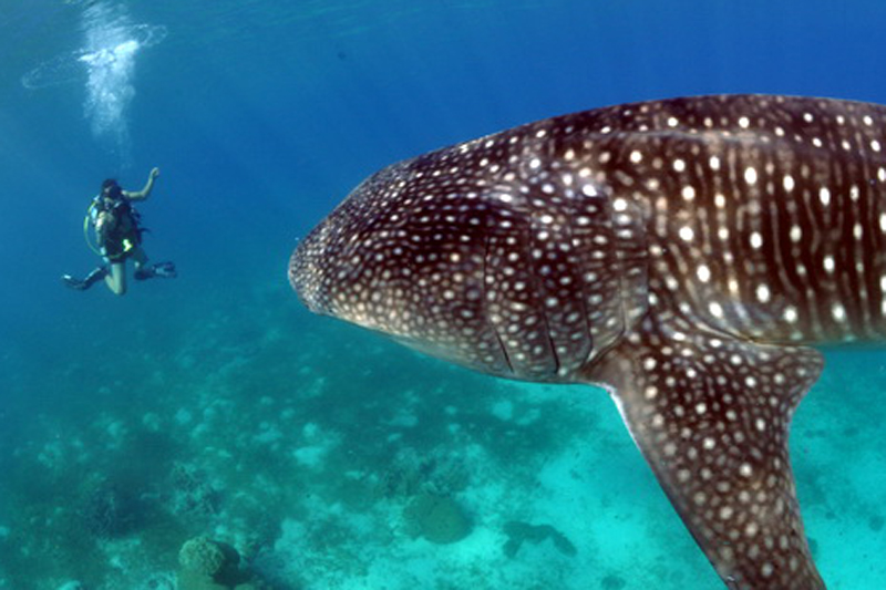Moalboal Scuba Diving Holidays whale shark image courtesy of Lee Butler from Savedra Dive Center Philippines