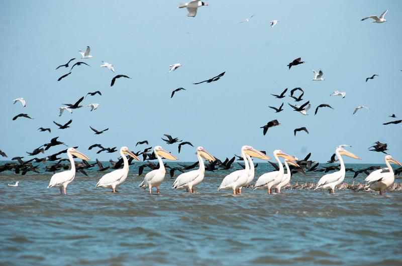 Danube Delta Pelicans on Romania safari holidays Flickr image by Elena Pleskevich