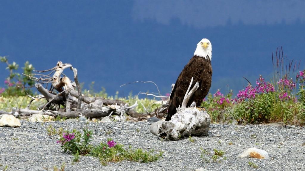 Tatshenshini River rafting expedition Bald headed eagle - Simon Gee