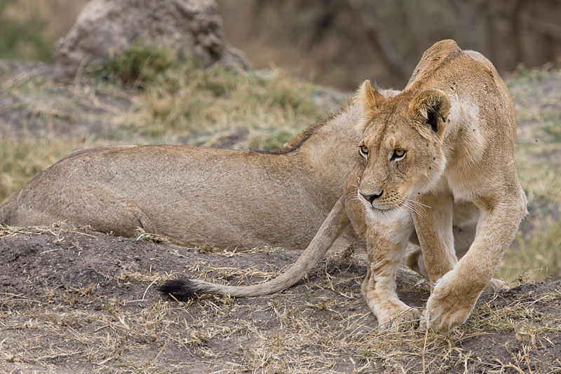 Top 10 African safari destinations Wikimedia image by Ikiwaner