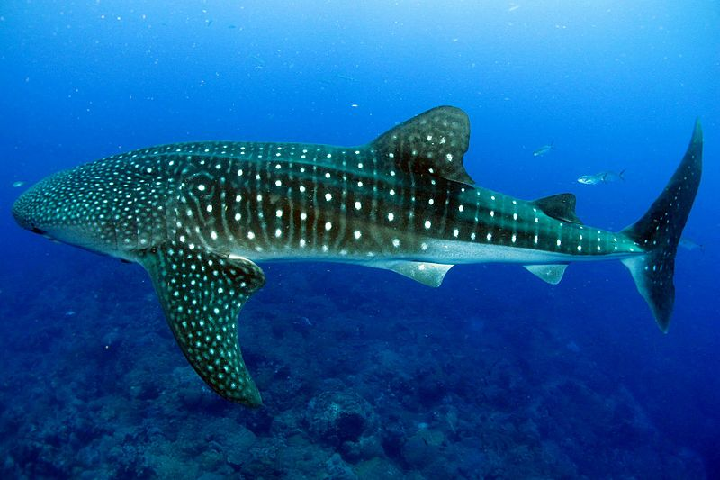 Whale shark scuba diving holidays Wikimedia image by FGBNMS:Eckert