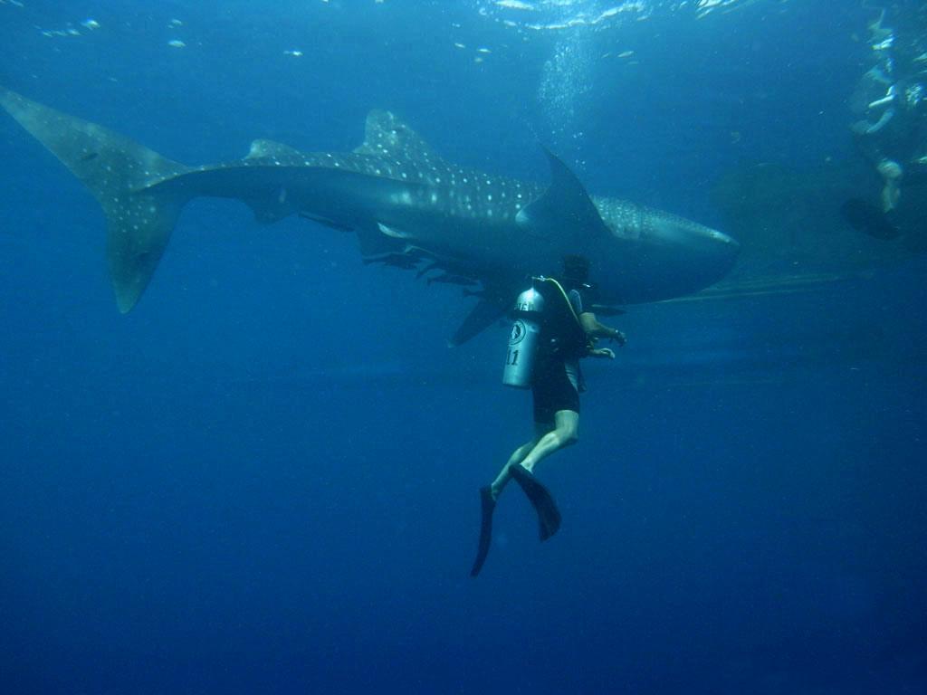 Whale shark scuba diving holidays flickr image by Marcel Ekkel