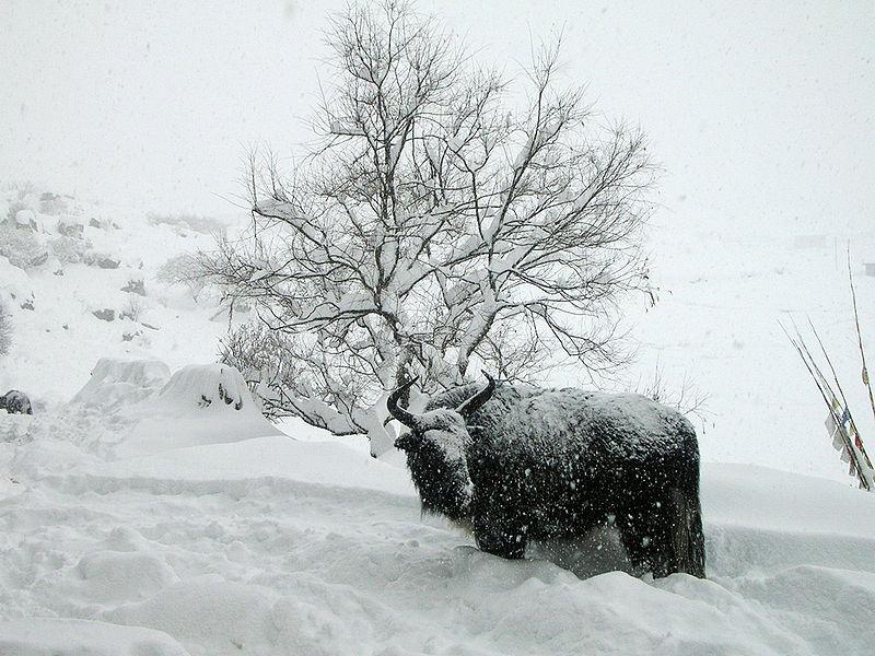 best ski news 2014 week 1 yak wikicommons image by Ardash Thankuri