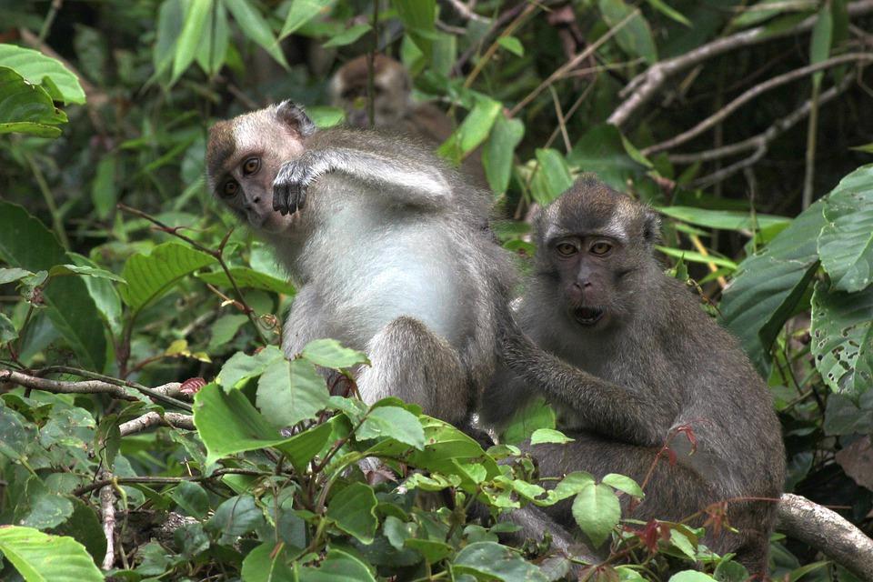 Guide to Borneo overlanding tours and Best Malaysia adventure holidays in Kuching sarawak pixabay royalty free image of monkeys