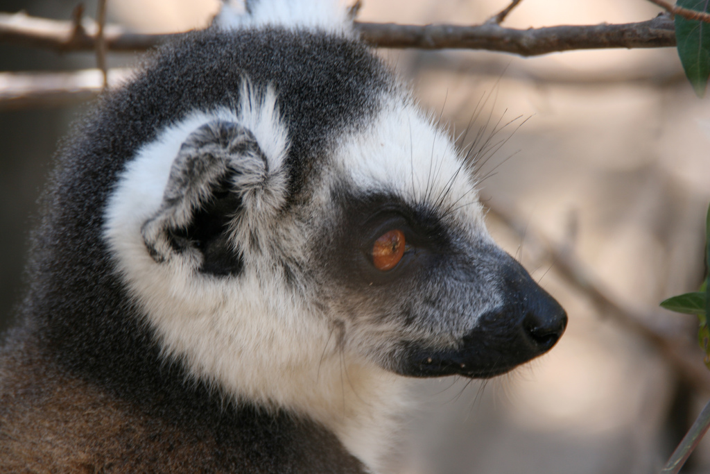 Lemur of Madagascar Flickr image by Marco Zanferrari