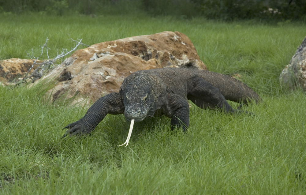 See Komodo Dragons in the best Indonesia kayak destinations