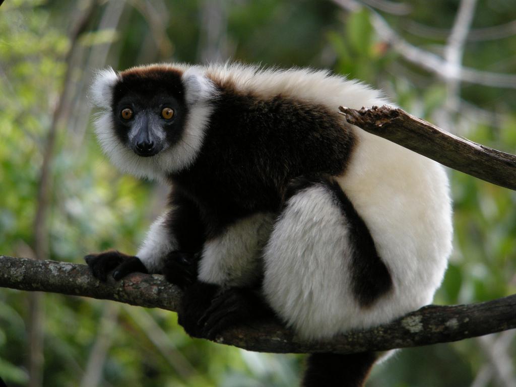 Madagascar Safari Holidays Black and White Ruffed Lemur Flickr Image by Frank Vassen