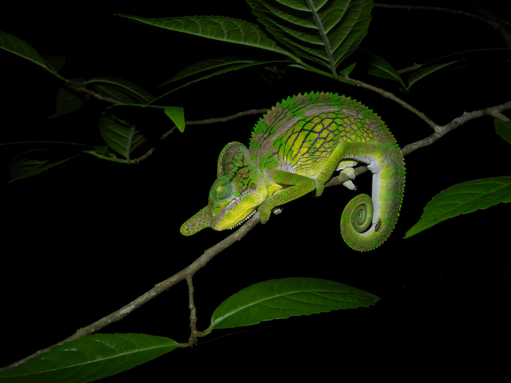 Madagascar Safari Holidays Labords Chameleon Flickr Image by Frank Vassen