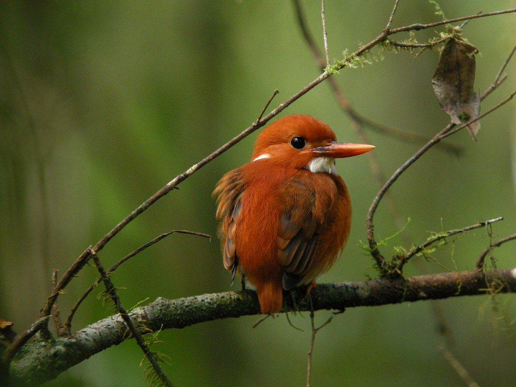 Madagascan adventures: Overlanding holidays in Madagascar Pygmy kingfisher Flickr Image by Frank Vassen