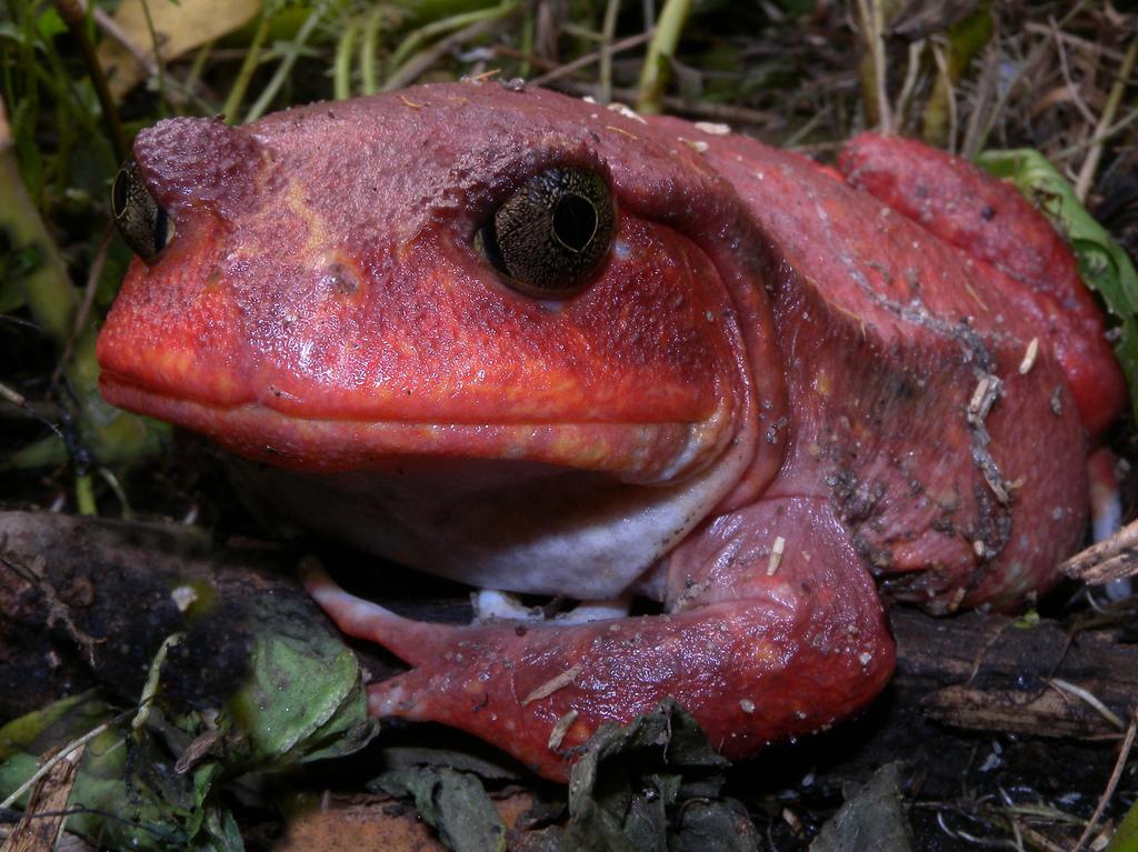 Madagascar Safari Holidays Tomato Frog Flickr Image by Frank Vassen