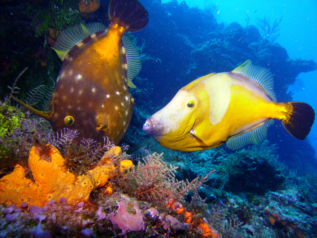 Scuba Diving in Mexico - File Fish - Fickr image by Skinned Mink