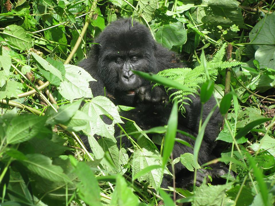 Merit Safaris discount Gorilla tracking in Uganda