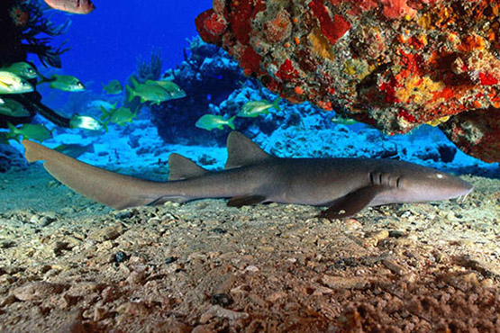Guide to Phuket scuba diving holidays in Thailand - koh doc mai bamboo shark