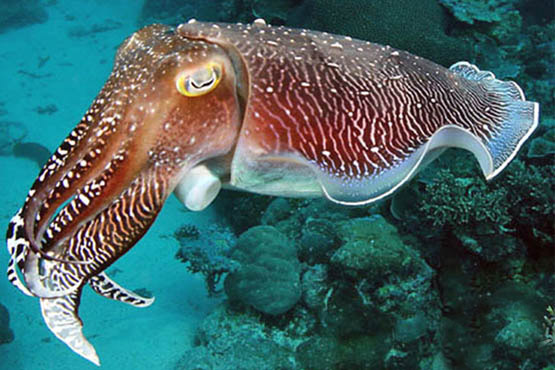 Guide to Phuket scuba diving holidays in Thailand - racha yai cuttlefish