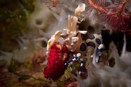Guide to Phuket scuba diving holidays in Thailand - similans harlequin shrimp