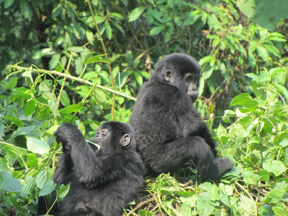 Bamboo Ecotours discount 10 off gorilla safari in Uganda
