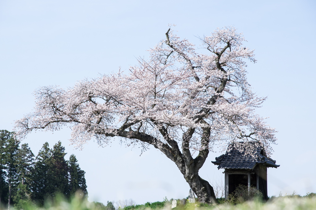 Guide to Japanese overlanding Adventure travel in Japan Flickr CC image of Blossom by Naoki Natsume Ishii