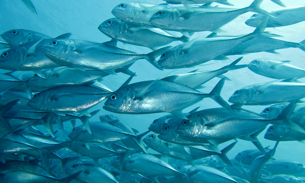 Guide to the best Malaysian scuba diving in Sipadan Flickr CC image of Bigeye Trevallies by berniedup