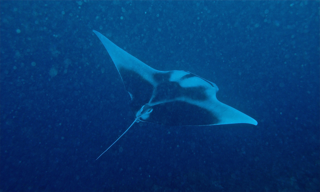 Guide to the best Malaysian scuba diving in Sipadan Flickr CC image of Giant Manta by berniedup