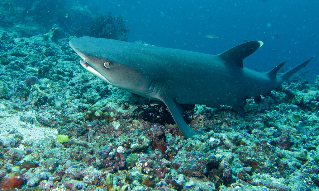 Guide to the best Malaysian scuba diving in Sipadan Flickr CC image of White tip Reef Shark by berniedup