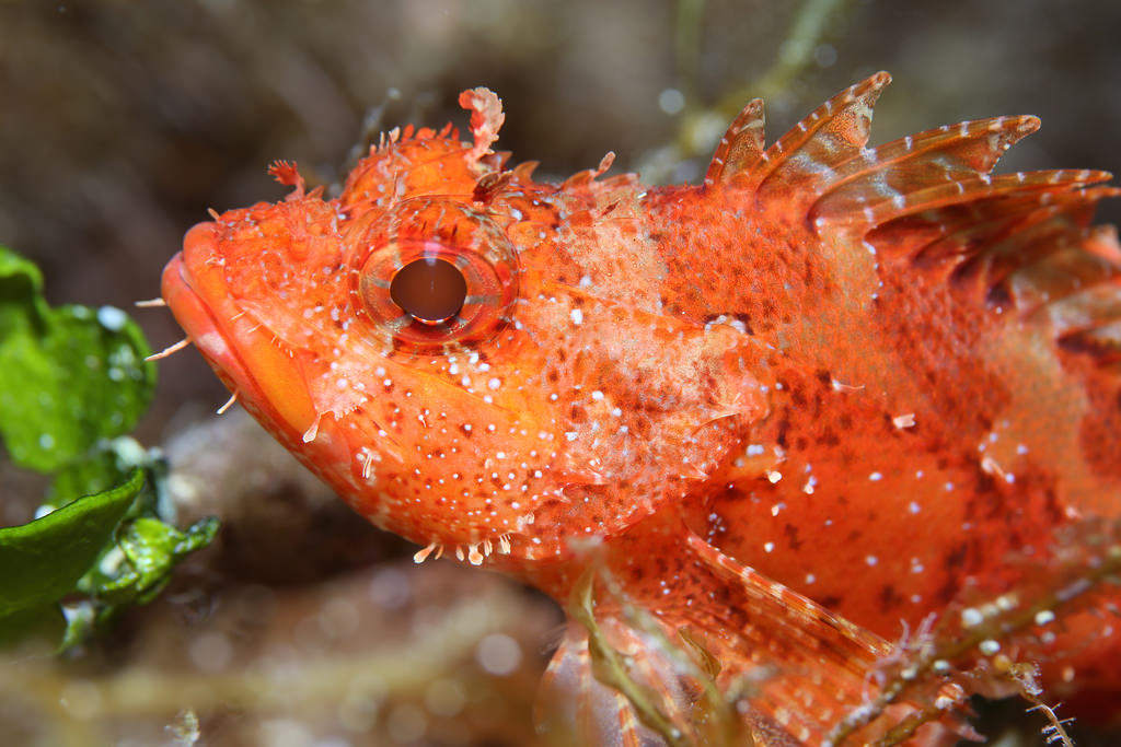 European scuba diving holidays Gozo one of the best dive spots in europe Flickr CC image of Scorpion fish by prilfish