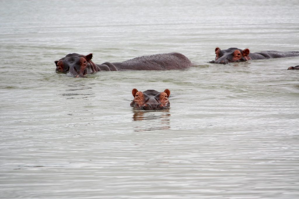 Hippos in Selous, Tanzania one of the best trekking safaris worldwide Flickr CC image by Pakus Futuro Bloguero