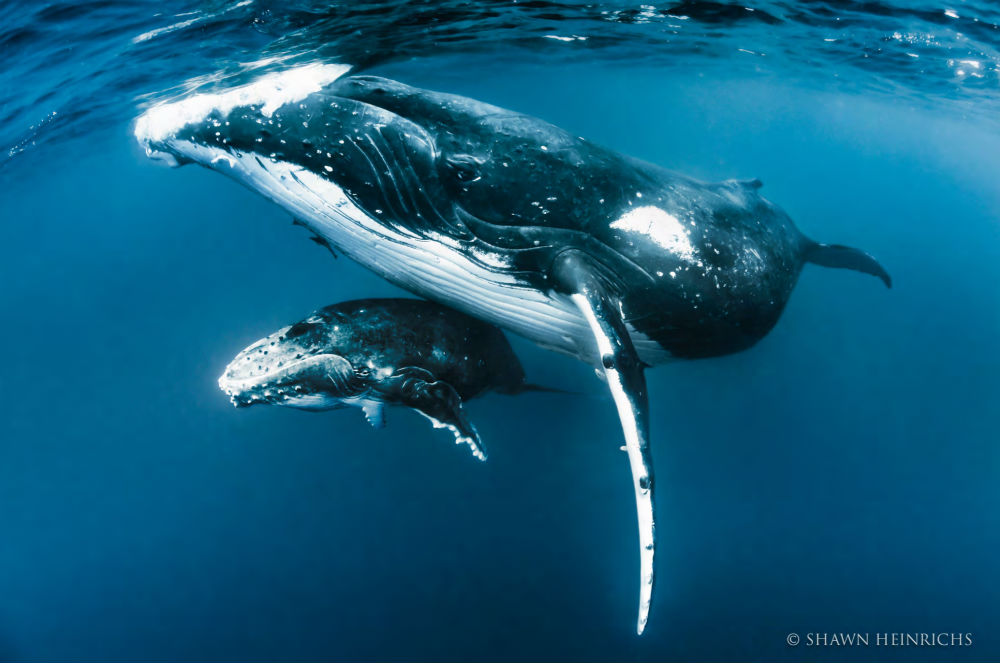Luxury whale watching experience on yacht Tiara copyright Shawn Heinrichs