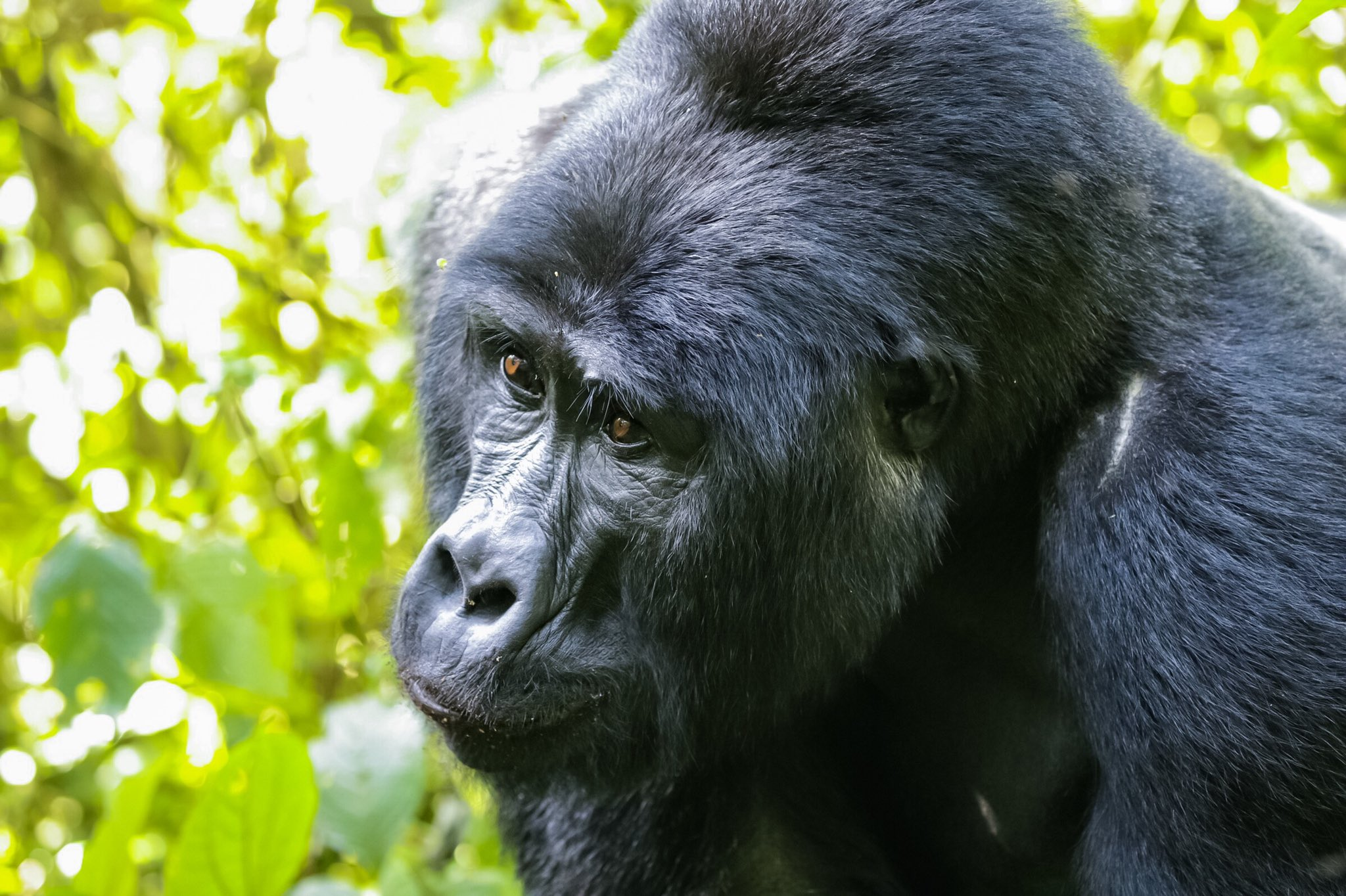 Uganda fly-in safari: Gorilla trekking in Bwindi National Park