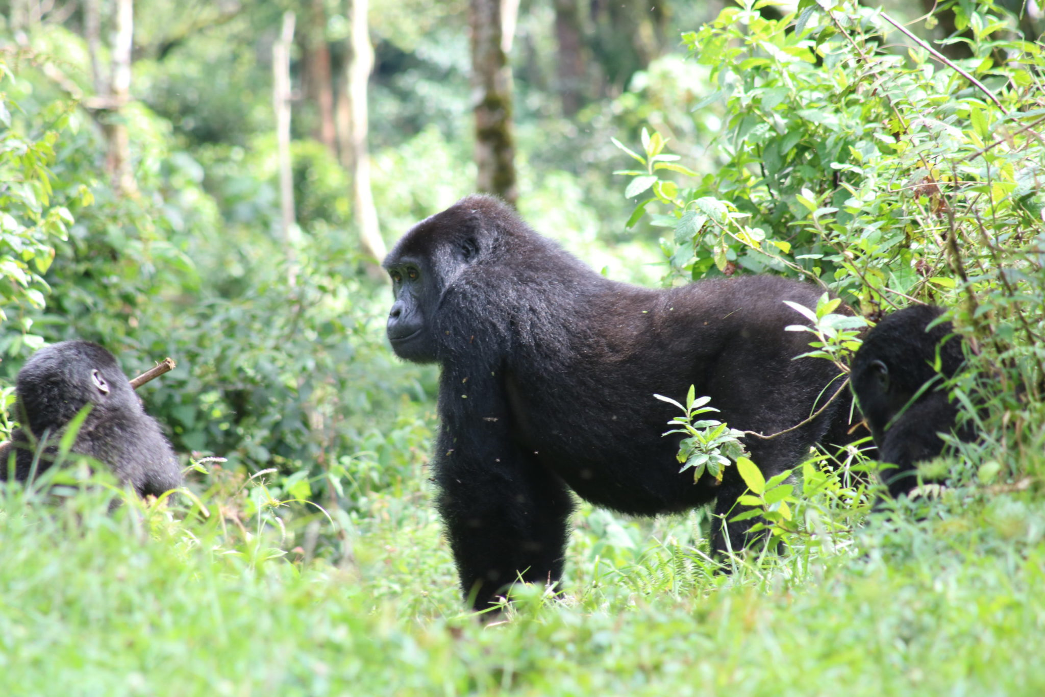 Budget gorilla trekking Uganda: 3 day Bwindi National Park safari