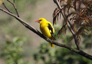 Godawari Birdwatching Holiday in the Kathmandu valley