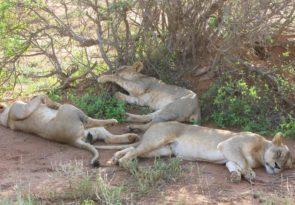 4 day Mara and Nakuru Luxury Safari Holiday in Kenya