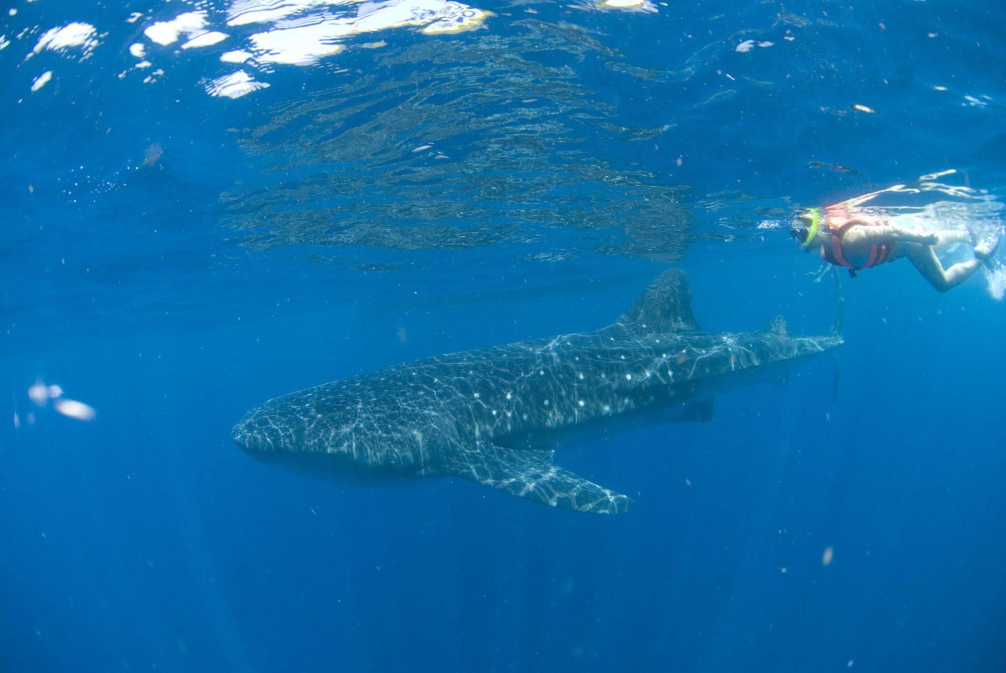 Whale shark tour Mexico