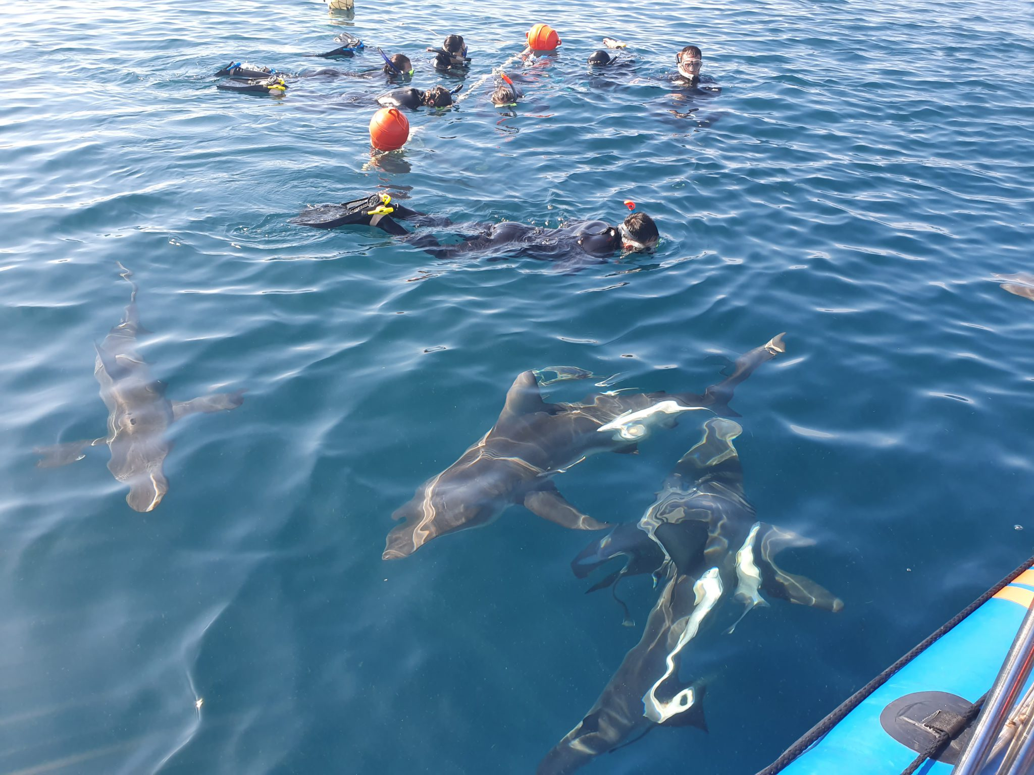 South Africa shark diving experience in Umkomaas: Cage or snorkel