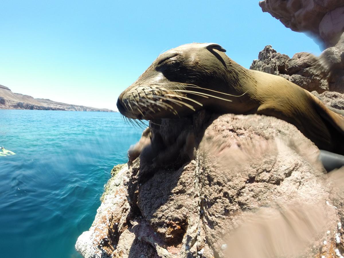 Isla Espiritu Santo sealion snorkeling tour in Mexico