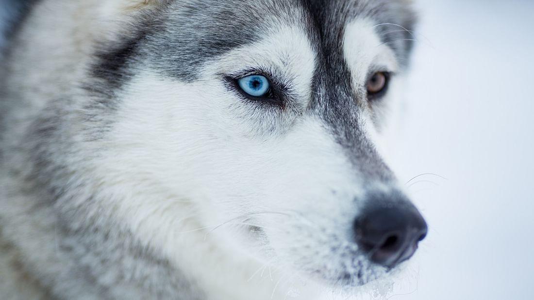 20Km Snowy Trails Husky Lapland Sleigh Ride