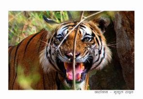 Central India Tiger Safari at Kanha National Park