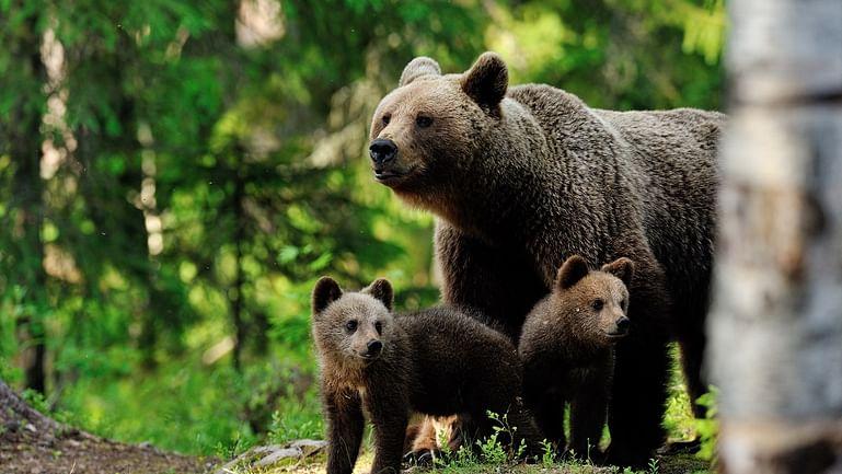 Overnight Finland bear safari in Kuusamo & Oulanga rapids