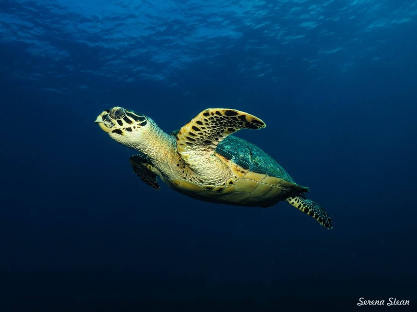Hawksbill turtle Nusa Penida scuba diving photo by Serena Stean of Reeflex Divers