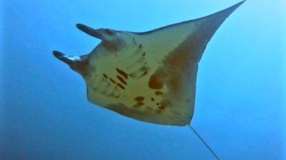 Manta Ray during Indonesia divemaster course with Indo Ocean Project